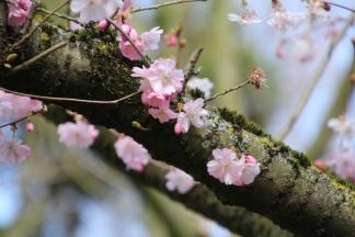 Sakura am Baum